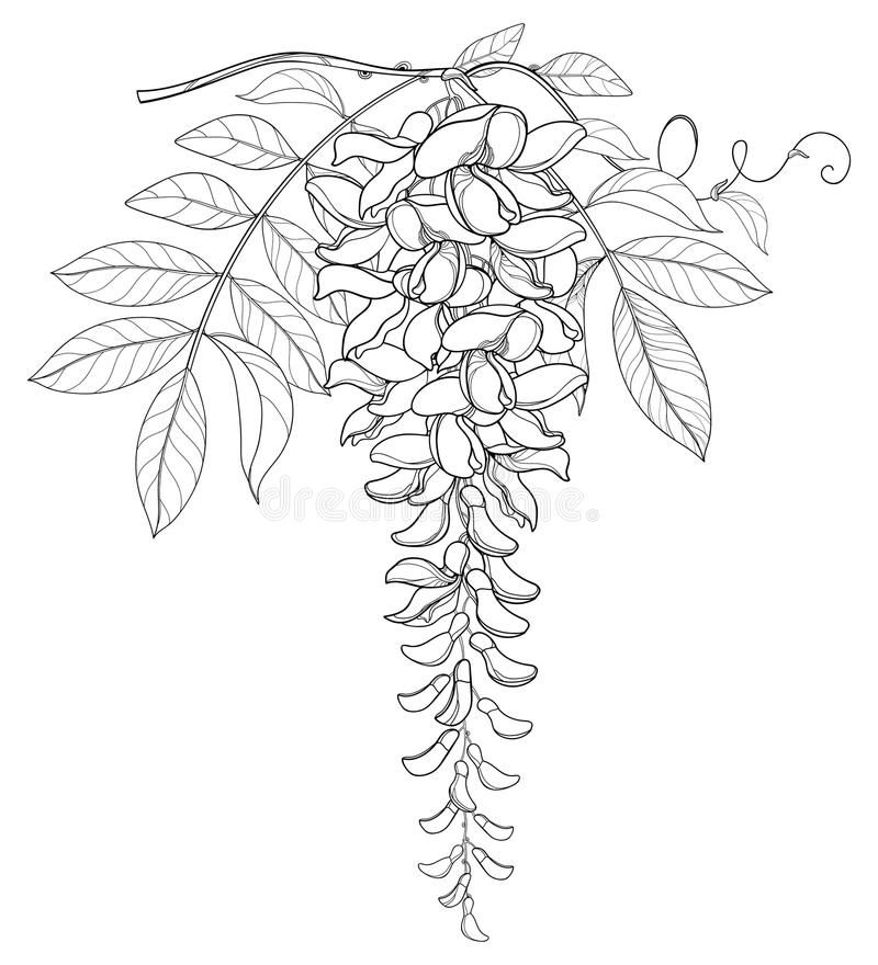 Vector Branch Of Outline Wisteria Or Wistaria Flower Bunch Bud And Leaf In Black Isolated On White Backgrou In 2020 Flower Line Drawings Floral Drawing Flower Drawing