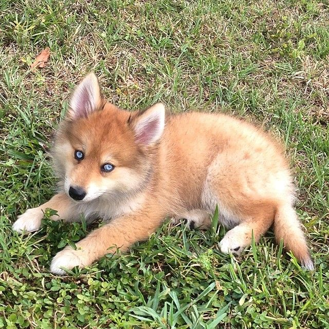 This Gorgeous Puppy Is A Mix Between A Husky And Pomeranian A