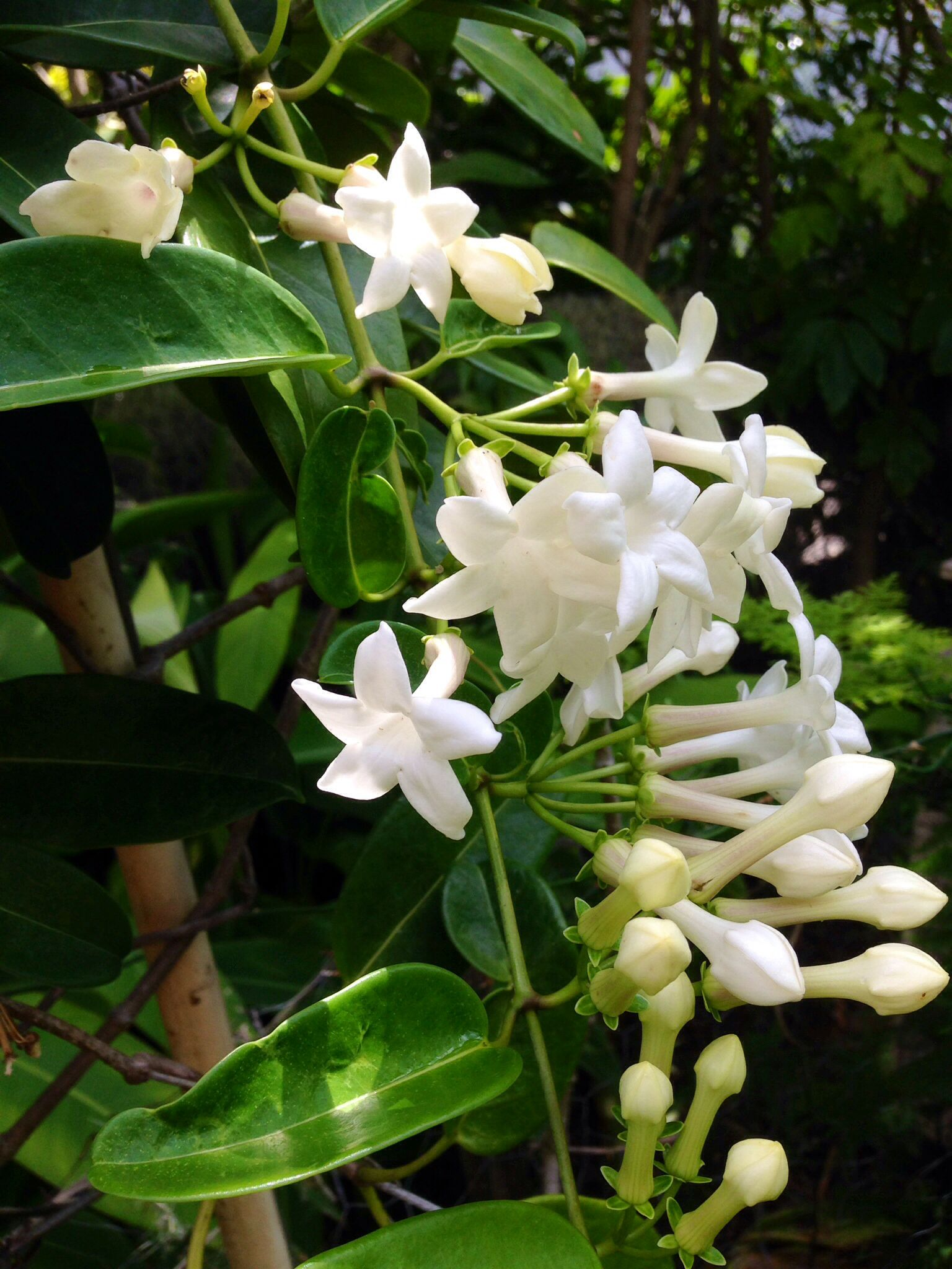 Only In Hawaii Fragrant Stephanoses Blossoms In Manoa Garden