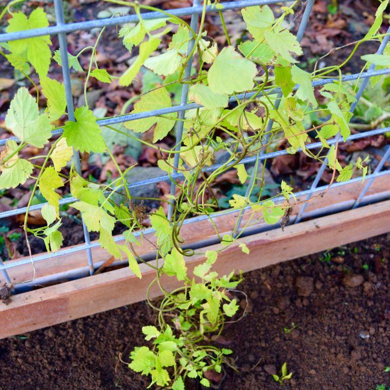 Growing a hop vine plant garden checklist plants hops