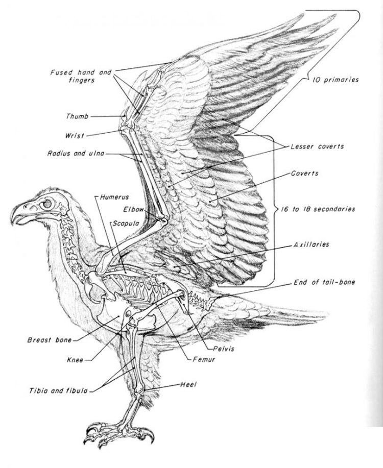 bird anatomy coloring page in 2019 | Skeleton anatomy ...