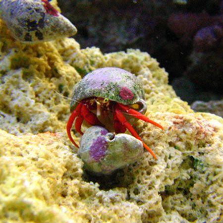Scarlet Reef Hermit Crab Hermit Crab Crab Saltwater Tank