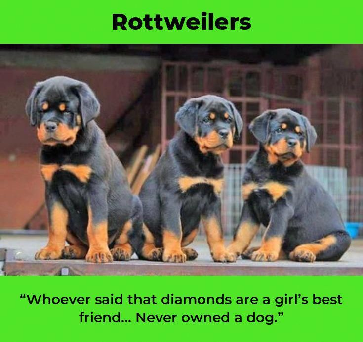 The Traits I Respect About The Confident Rottweiler Puppies