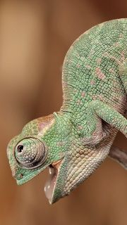 I want a chameleon and I want to name it Steve Buscemi.