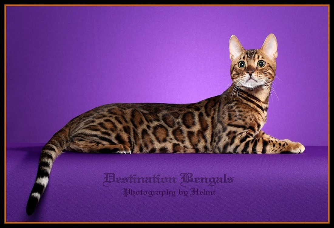 Snow Leopard Bengal Cats Bengal Kittens For Sale In Texas Brown Rosetted Kittens Snow Leopard Bengal Kitten Bengal Cat Bengal Cat For Sale