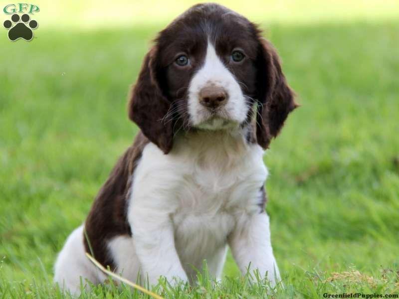 Teresa, English Springer Spaniel puppy for sale in
