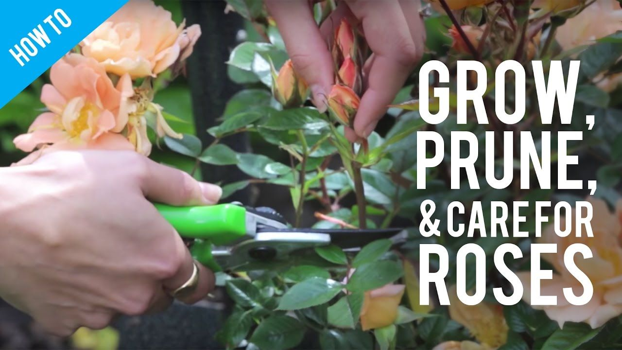 How To Grow Prune Care For A Rose Bush Rose Bush Prune Helpful Hints