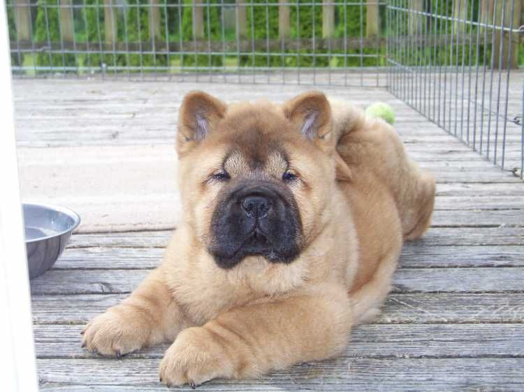 Smooth Coat chow chow :D | Chows | Dogs, Chow chow, Cute