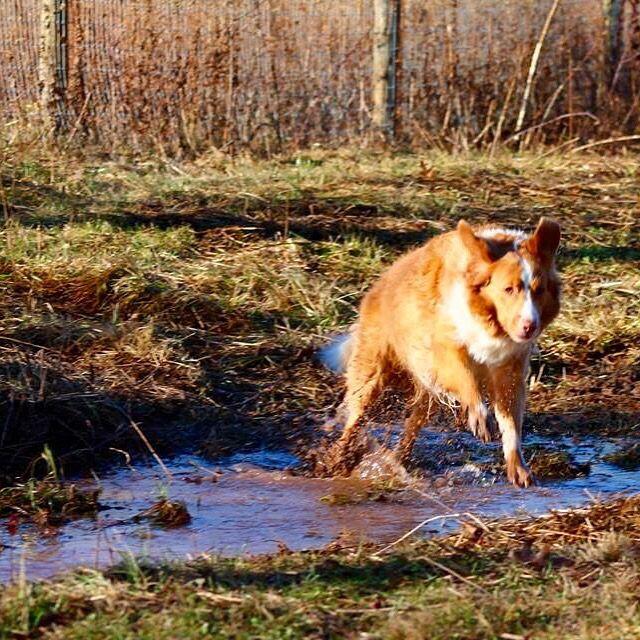 Bosworth leaping through the stream! #evasplaypupsPA #dogs #dogcamp #dogsinnature #runfree #runlikethewind #smilingdogs #happytails #thegreatoutdoors #freshair #intothewoods #itsadogslife #brooklyndogs #autumntime #handsomeman #doggyvacays #doggievacays #dogboarding #ducktollersofinstagram #dogsofinstagram #instadog #instapup #petportraits #seniordog #seniordogsrule