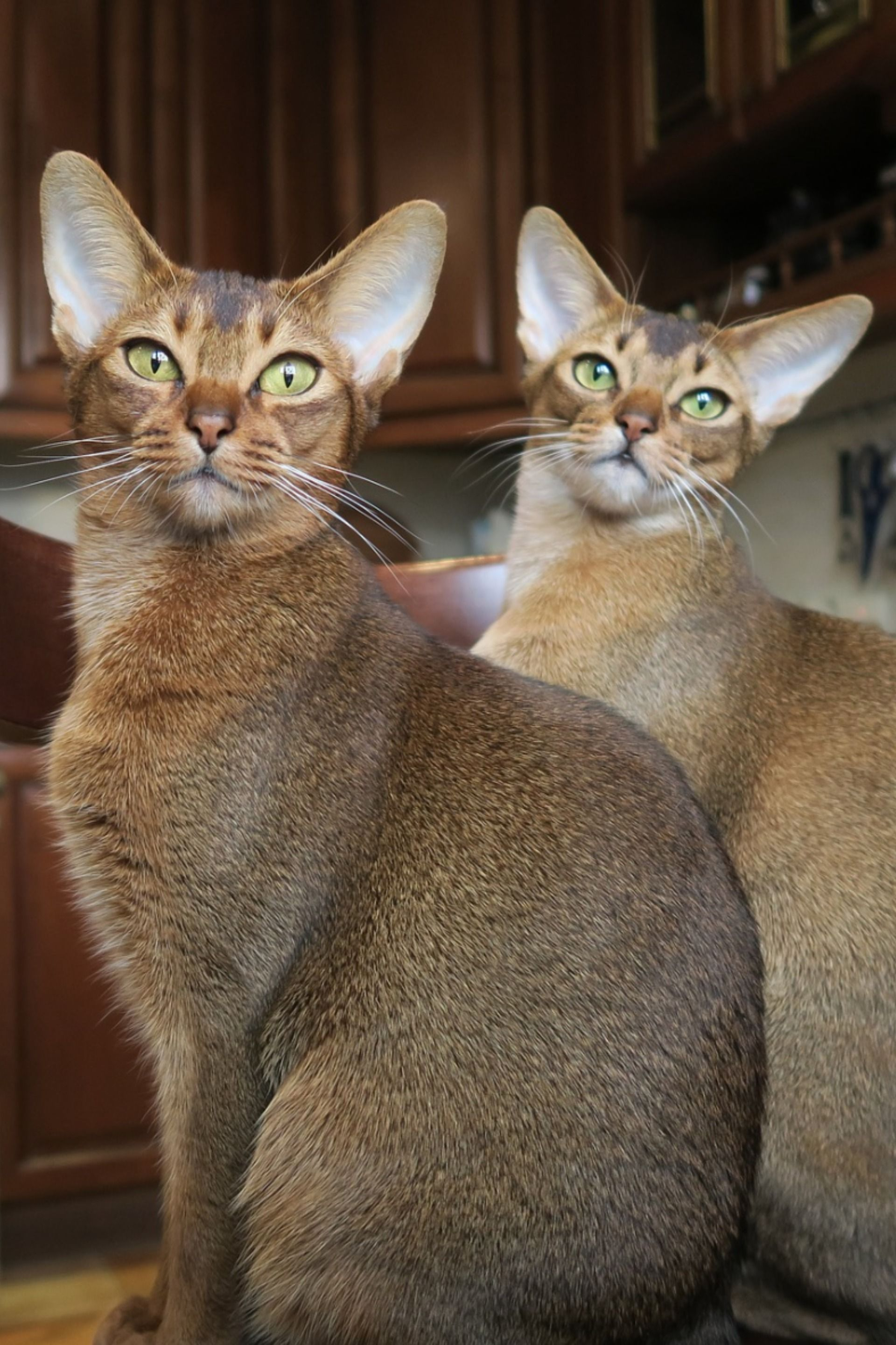 Abyssinian in 2020 Cat breeds, Popular cat breeds, Cats
