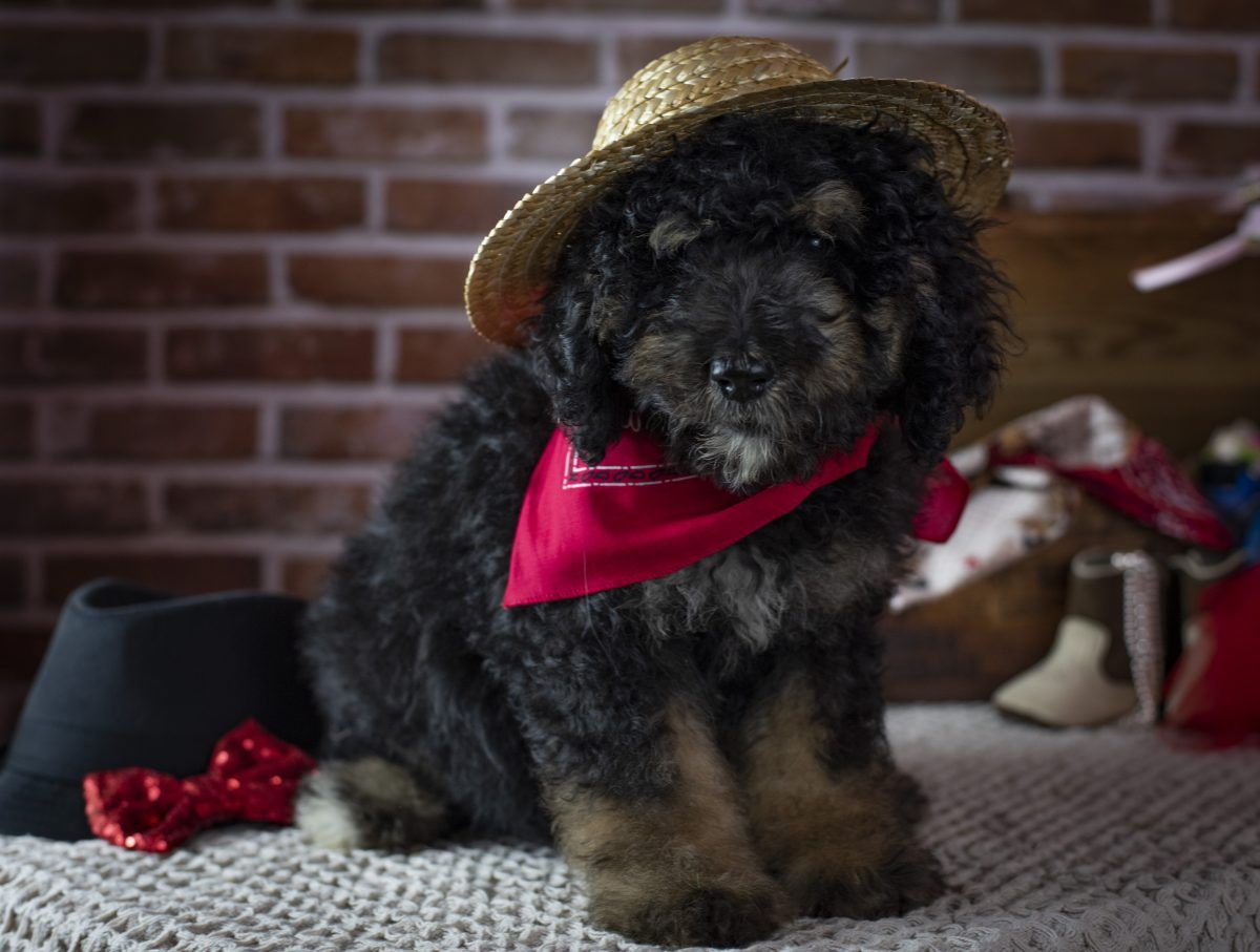 Bernedoodle Puppies For Sale In Winchester Virginia Bernedoodle