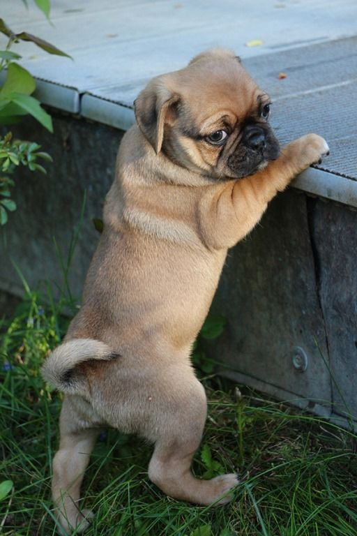 Pin By Diane Mckenna On For The Love Of Animals Cute Pug Puppies