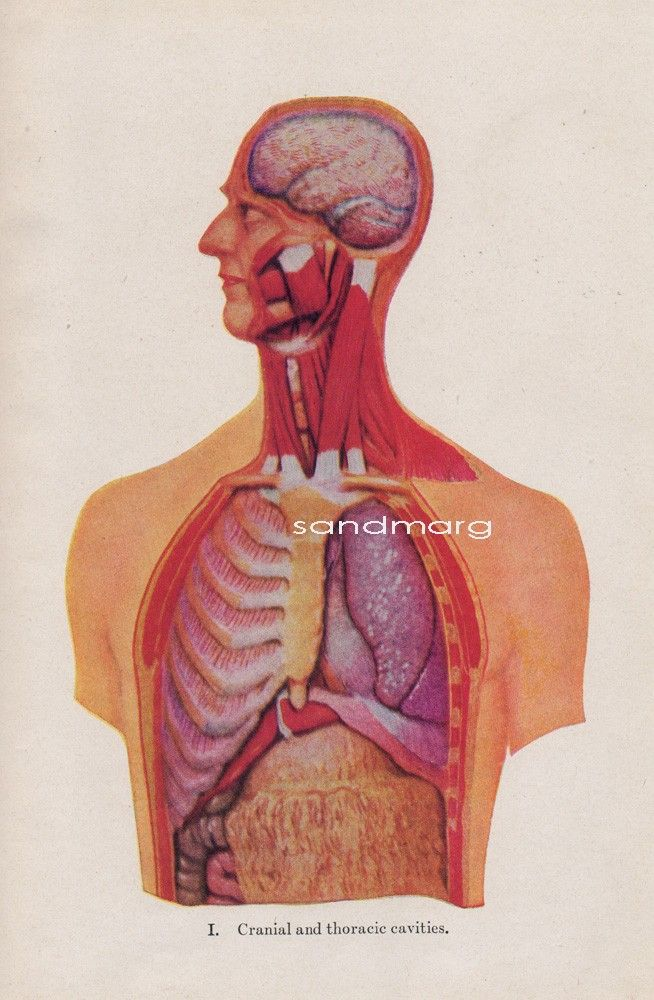 1930s Human Anatomy View of the Cranial Abdominal and Thoracic ...
