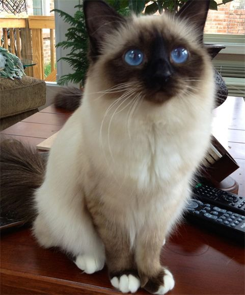 ForHim Birmans - Cats on the Show Circuit - Prospect, KY/his babies until real ones come along :-)