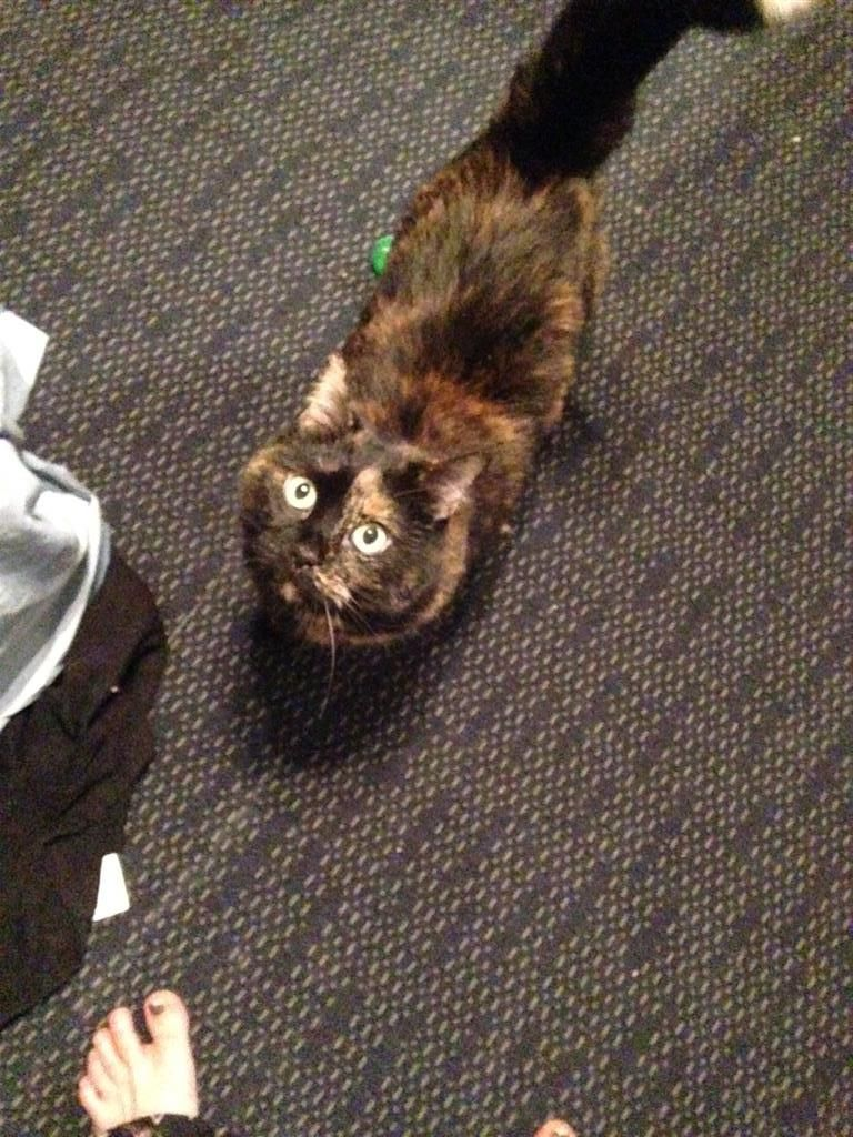 Found Cat Domestic Short Hair Toronto On Canada M1m 1l9 On January 02 2016 20 00 Pm Found Cat Pets Losing A Pet