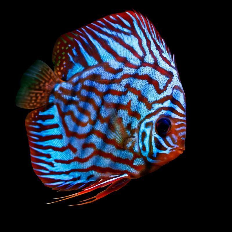 I Love Fish Discus Fish Discus Aquarium Freshwater Fish