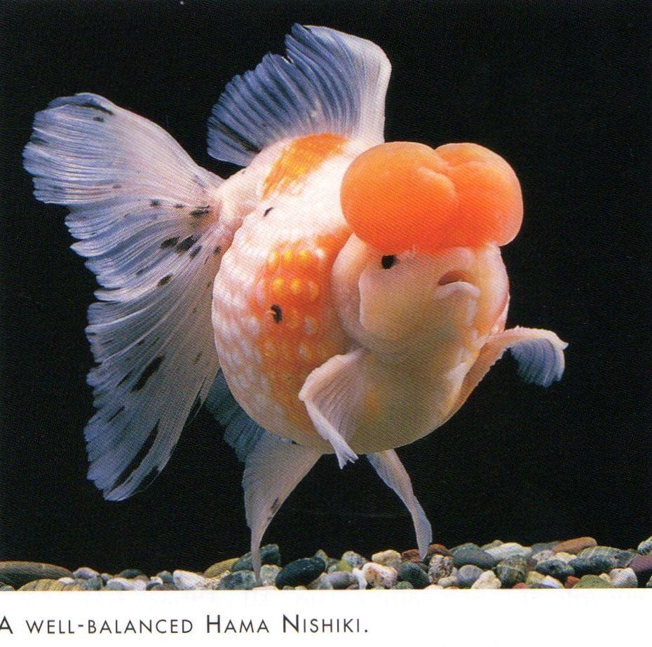 Hamani ( Sachead Pearlscale ) Goldfish. | Aquarium Fish ...