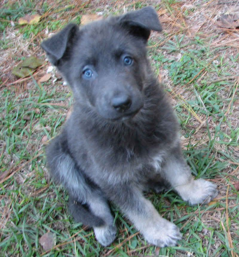 Blue German Shepherd They Have No Black Fur Love Blue German