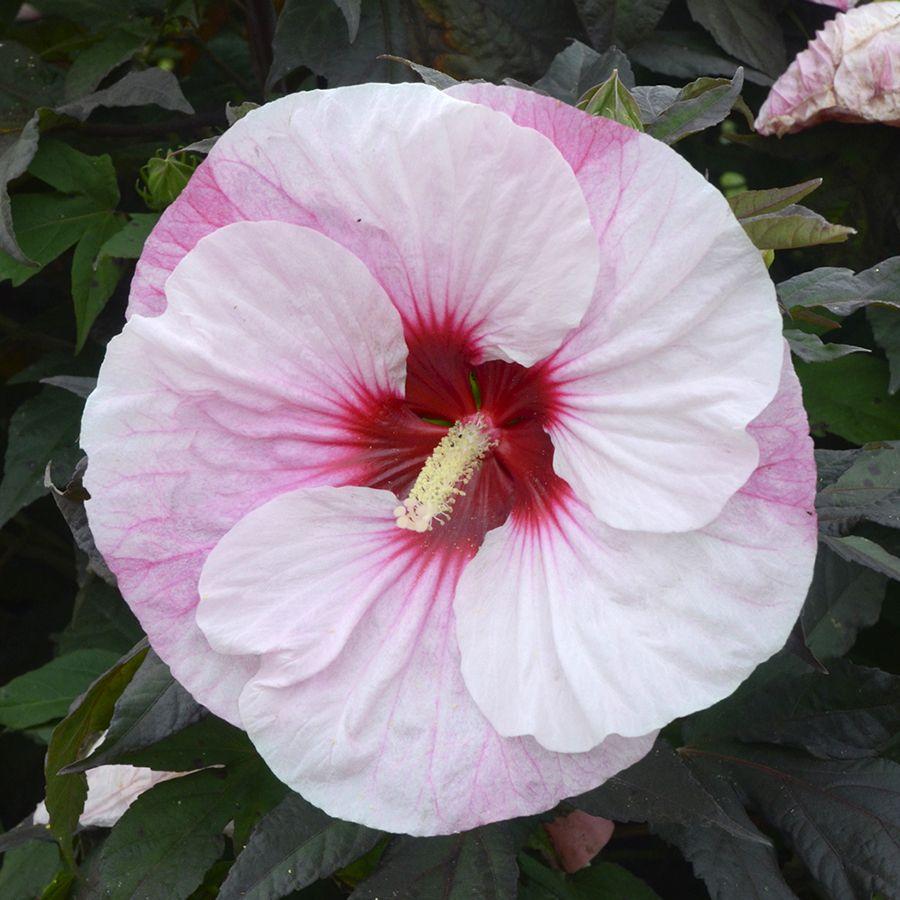 Hibiscus Summerific Perfect Storm White Flower Farm Hibiscus Plants
