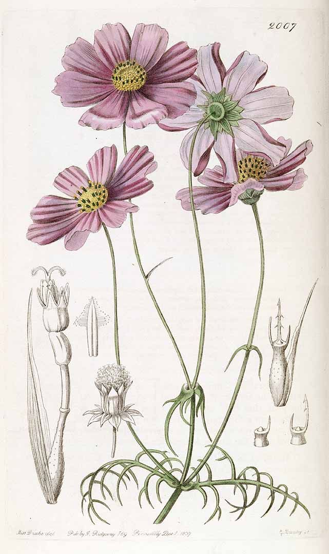 Cosmos bipinnatus Cav. | Cosmos tenuifolia Lindl.
