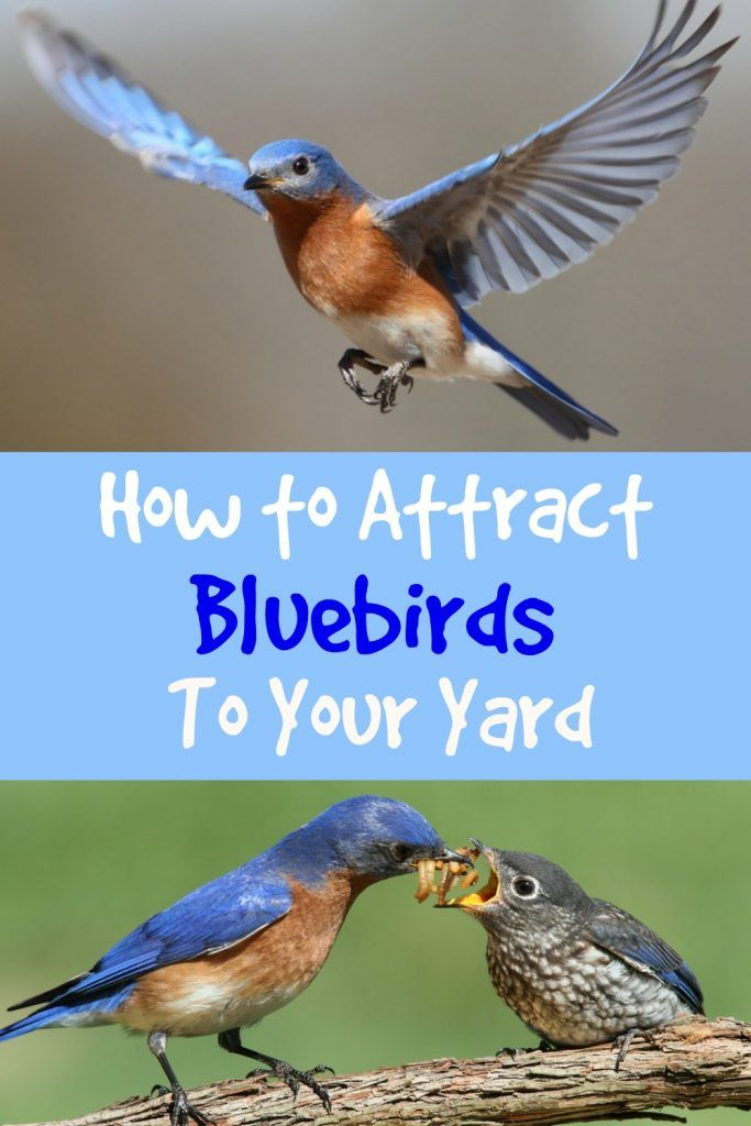 Attract Bluebirds to Your Yard - Some Simple Tips | Birds ...