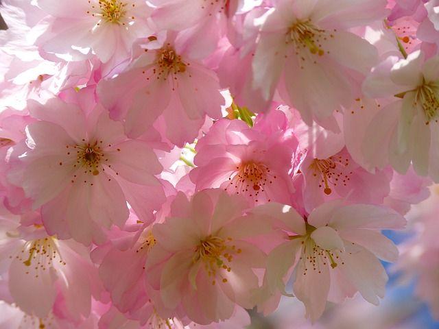 Japon Kiraz Agaci Cicegi Flores De Cerezo Japonesas Flores Bonitas