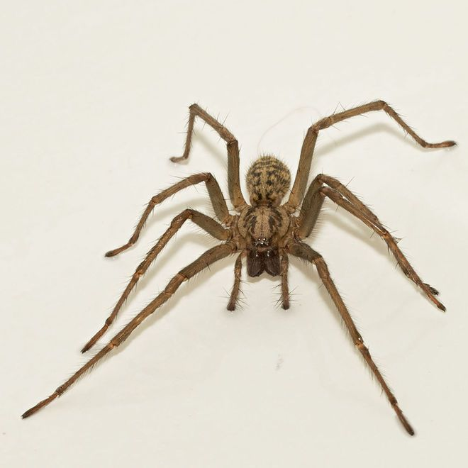 Is It Ok To Throw House Spiders Outside House Spider Spider Giant House Spider