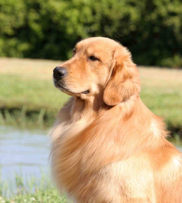 Charmer From Gemini Golden Retrievers Of Rockledge Florida Golden Retriever Retriever Puppy Retriever