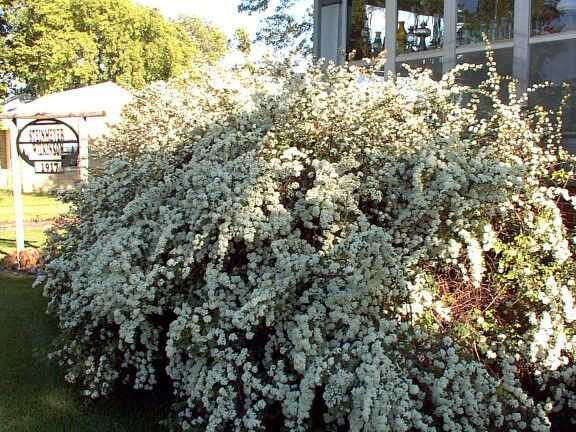 Spirea bushes are among the easiest flowering shrubs to grow spirea bushes are among the easiest flowering shrubs to grow spireas are often used in mightylinksfo