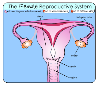 Reproductive System | Learn Anatomy - Visible Body