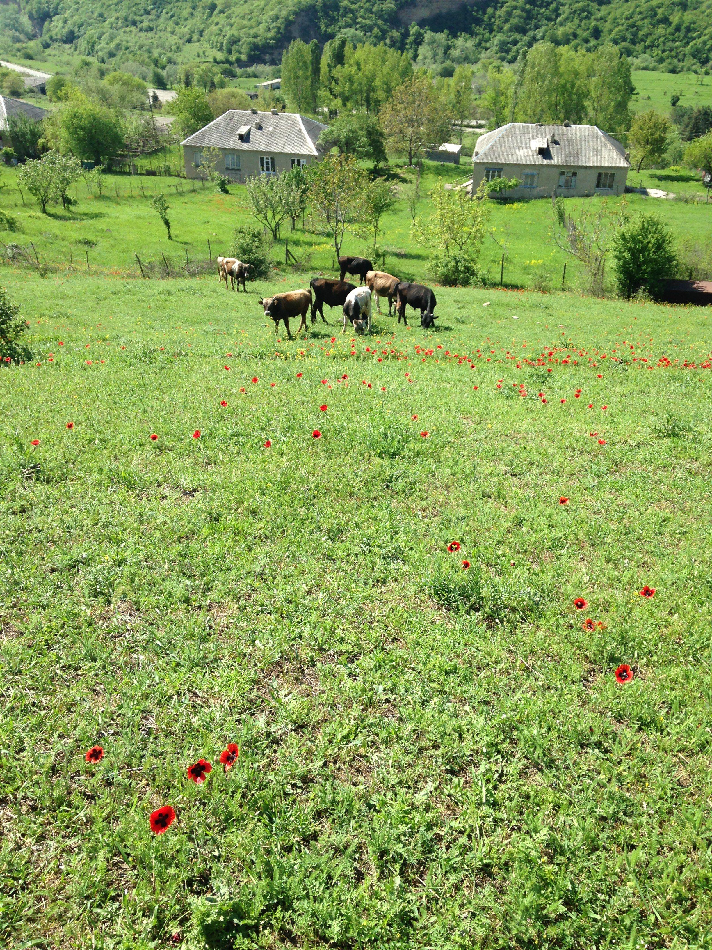 #Georgia#Village#Flovers#Cows#nature