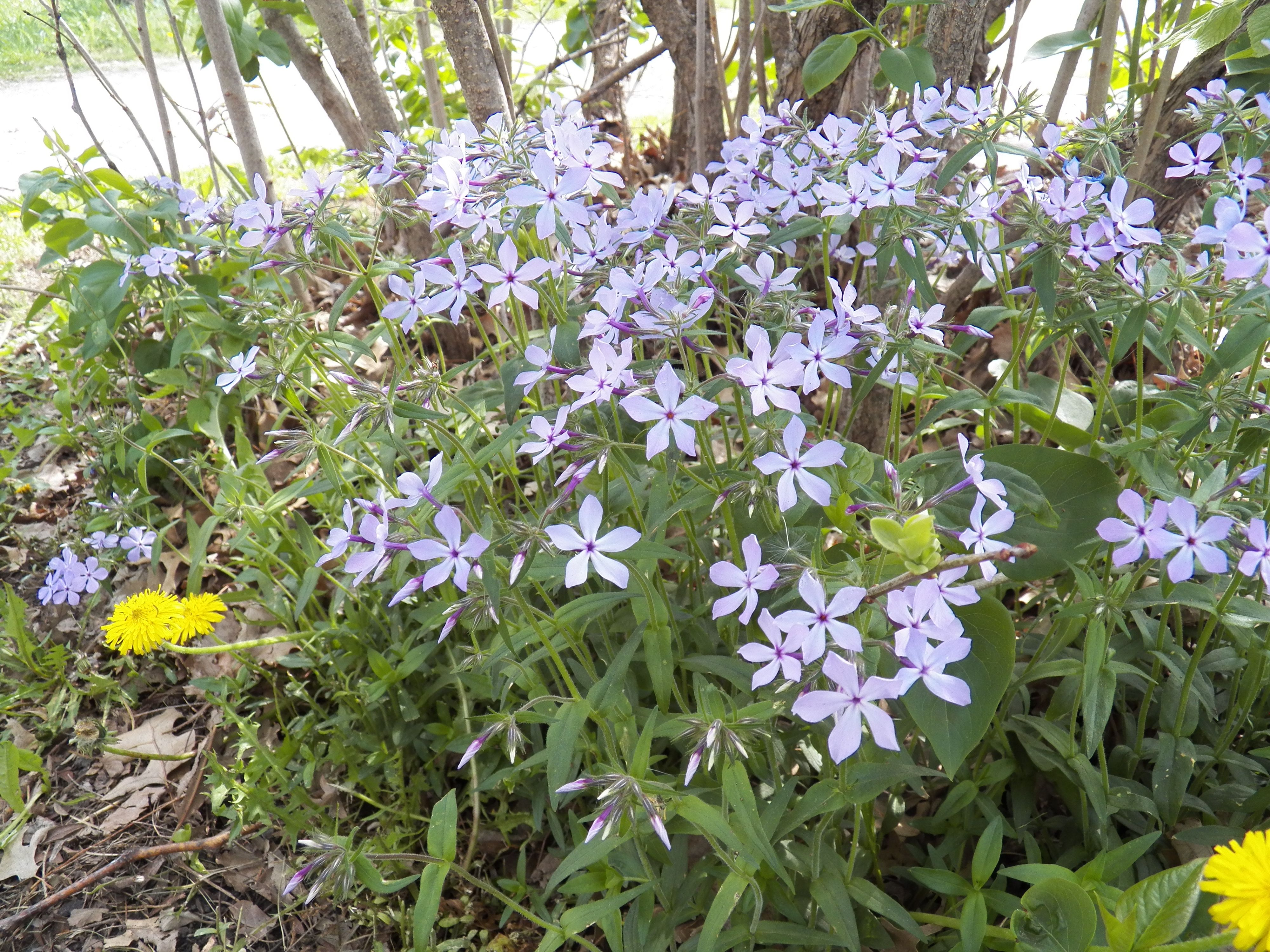 Blue Wood Phlox Native Tall Plants Clay Soil And