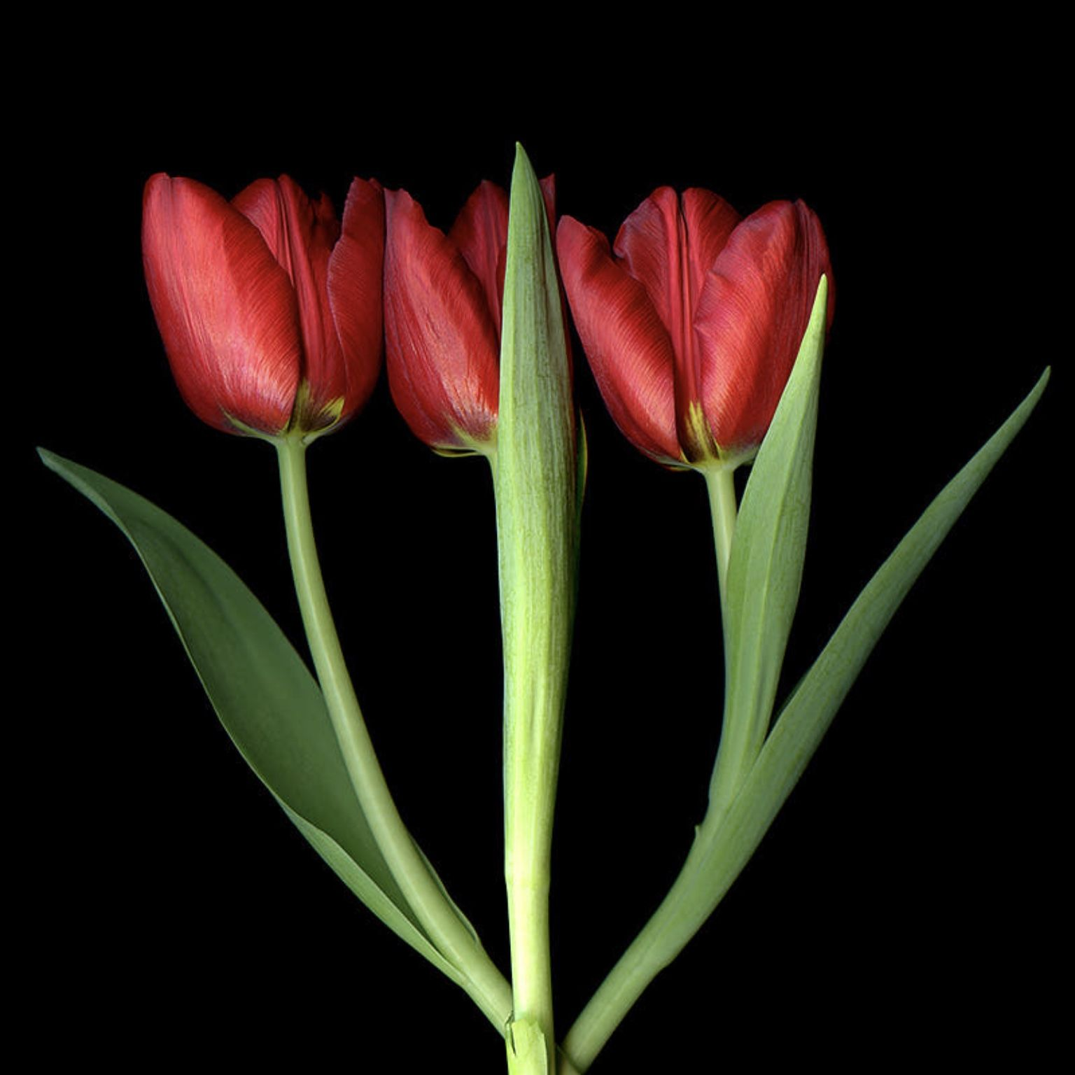 Pin By Linda Pace On Flowers Red Tulips Tulips Flowers Tulips