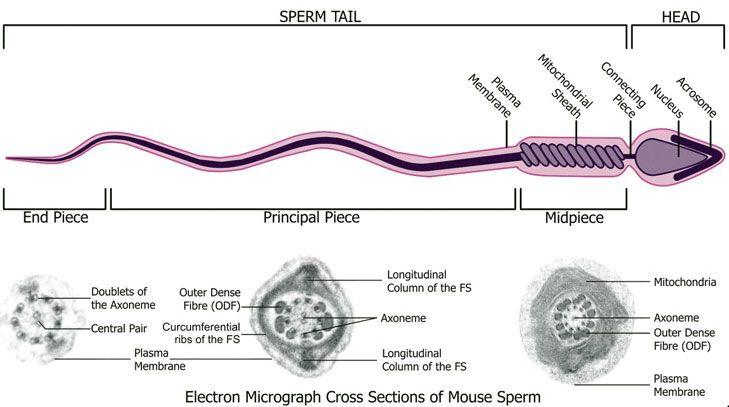 Multi shaped multi form spermatozoa