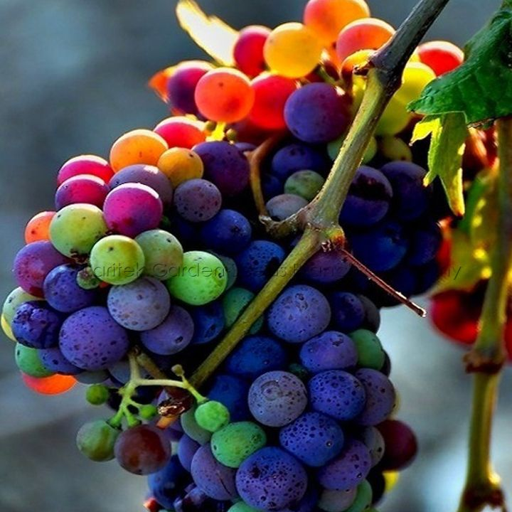 5 Packs, 15 Seeds / Pack, Rainbow Grape, New Variety Color
