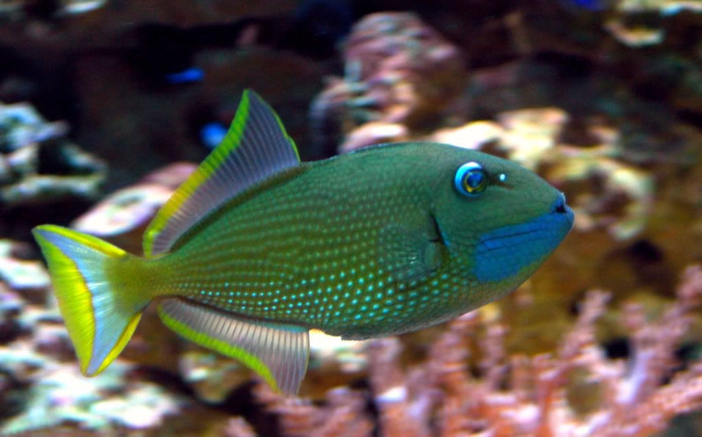 My Love With Trigger Fish Share Your Love With Trigger Fish Saltwater Aquarium Fish Marine Fish Sea Fish