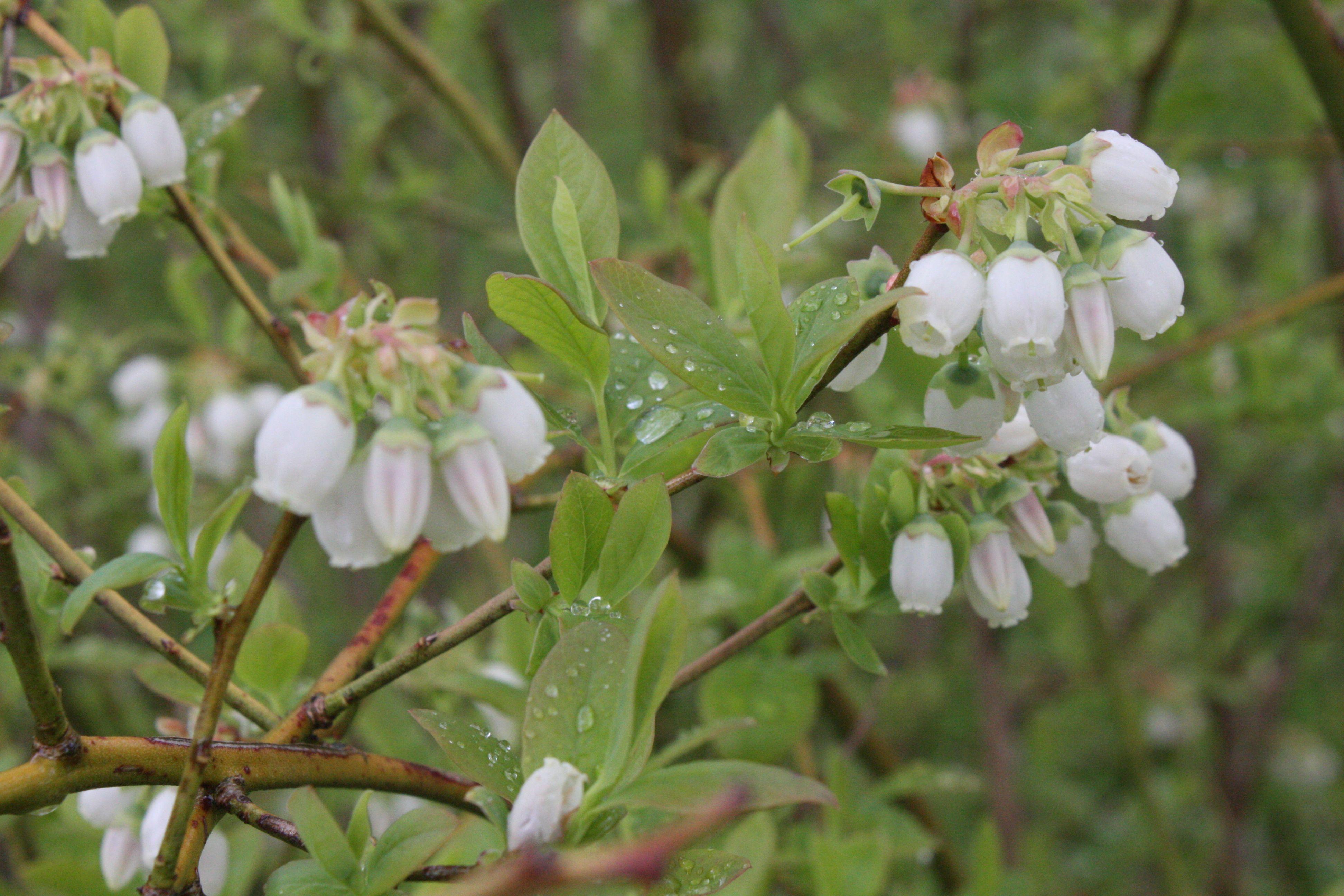 Blueberries after rain in spring 2014 at Lavender Backyard Garden, Hamilton, New Zealand