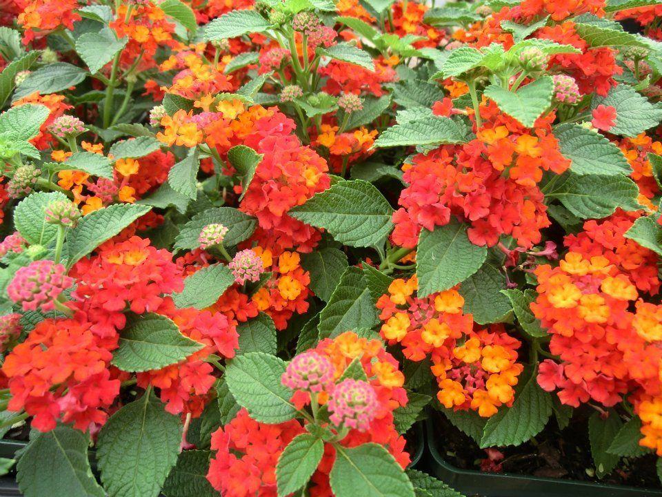 Pin On Lantana Flower