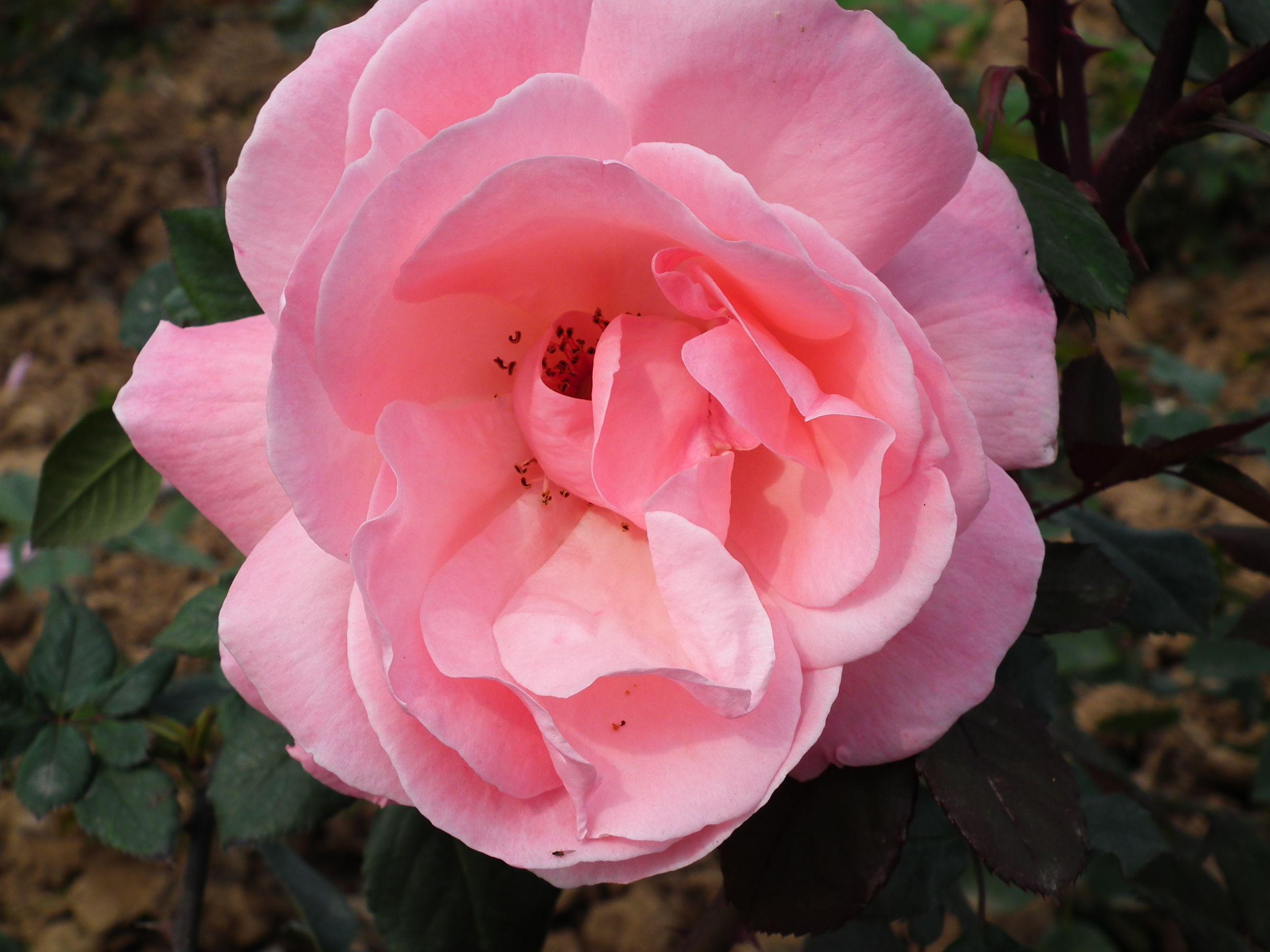 Pink rose rose flower Garden roses Pink rose flower Pink Roses