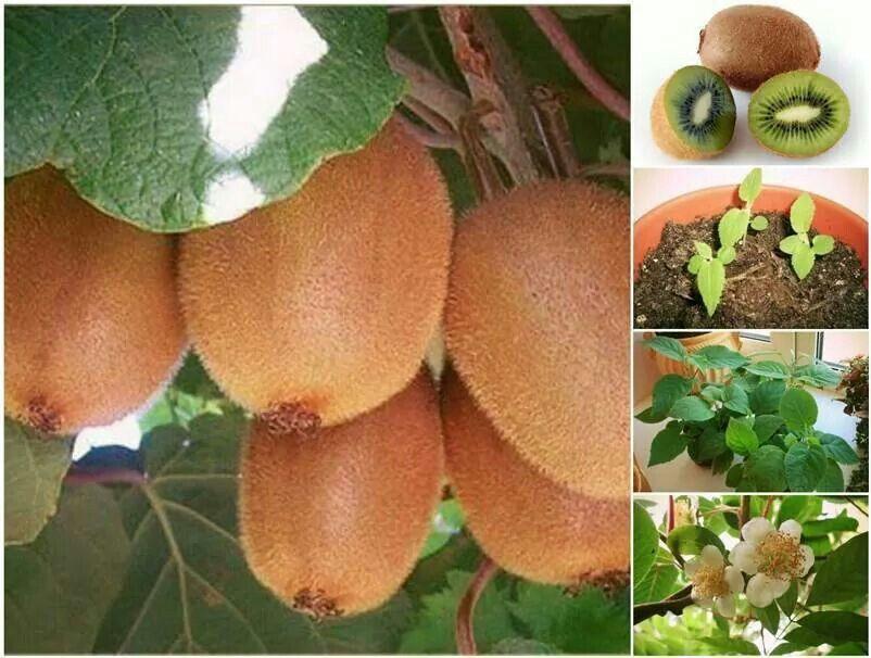 Growing kiwi