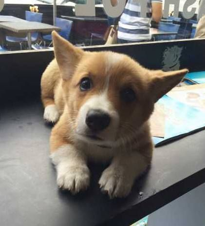 Just Look At His Face So Adorable Purebred Pembroke Welsh Corgi