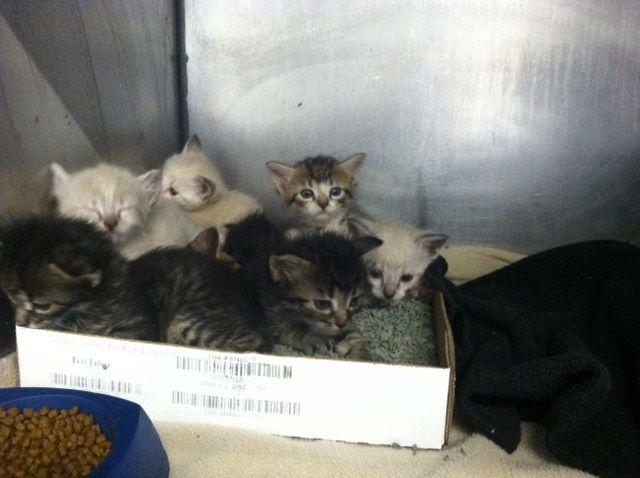 It S Kitten Season At Apa Cats Lovesavestheday Kitten Season Love Saves The Day Cat S