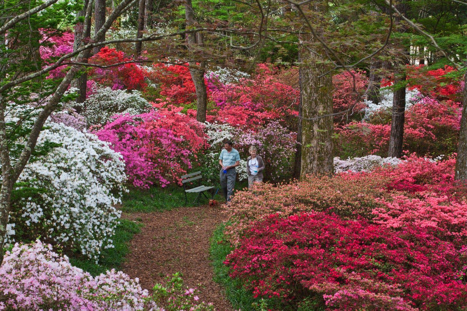 beautiful gardens in north carolina images | Steve Crain: Azaleas ...