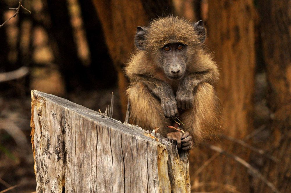 Marion-Gohier_Chacma-Baboon-was-taken-in-the-Soutpansberg-Mountain-in-Limpopo-South-Africa