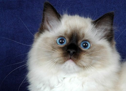 Did You Say Food Beautiful Cats Ragdoll Kitten Cute Animals