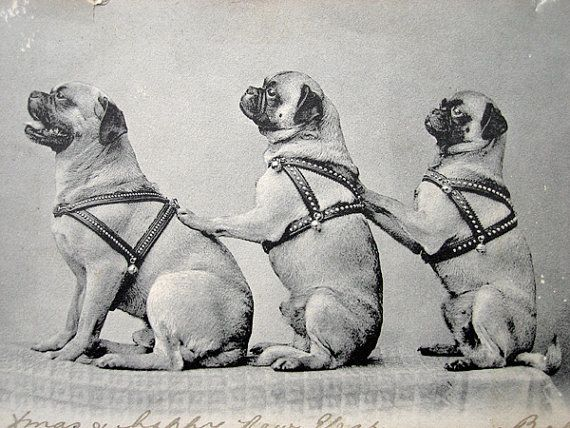 Antique Pug Dog Photo Postcard 1900s By Dogdayafternoons On Etsy
