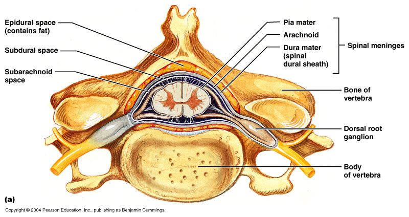 Cross Section Of Spinal Cord Within Vertebral Canal Radiology