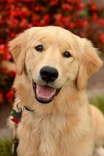 Golden Lab I Used To Have A Dog Like This But She Was Half Alaskan Malemute It Was 40 Years Ago But Golden Labrador Puppies Golden Retriever Labrador Dog