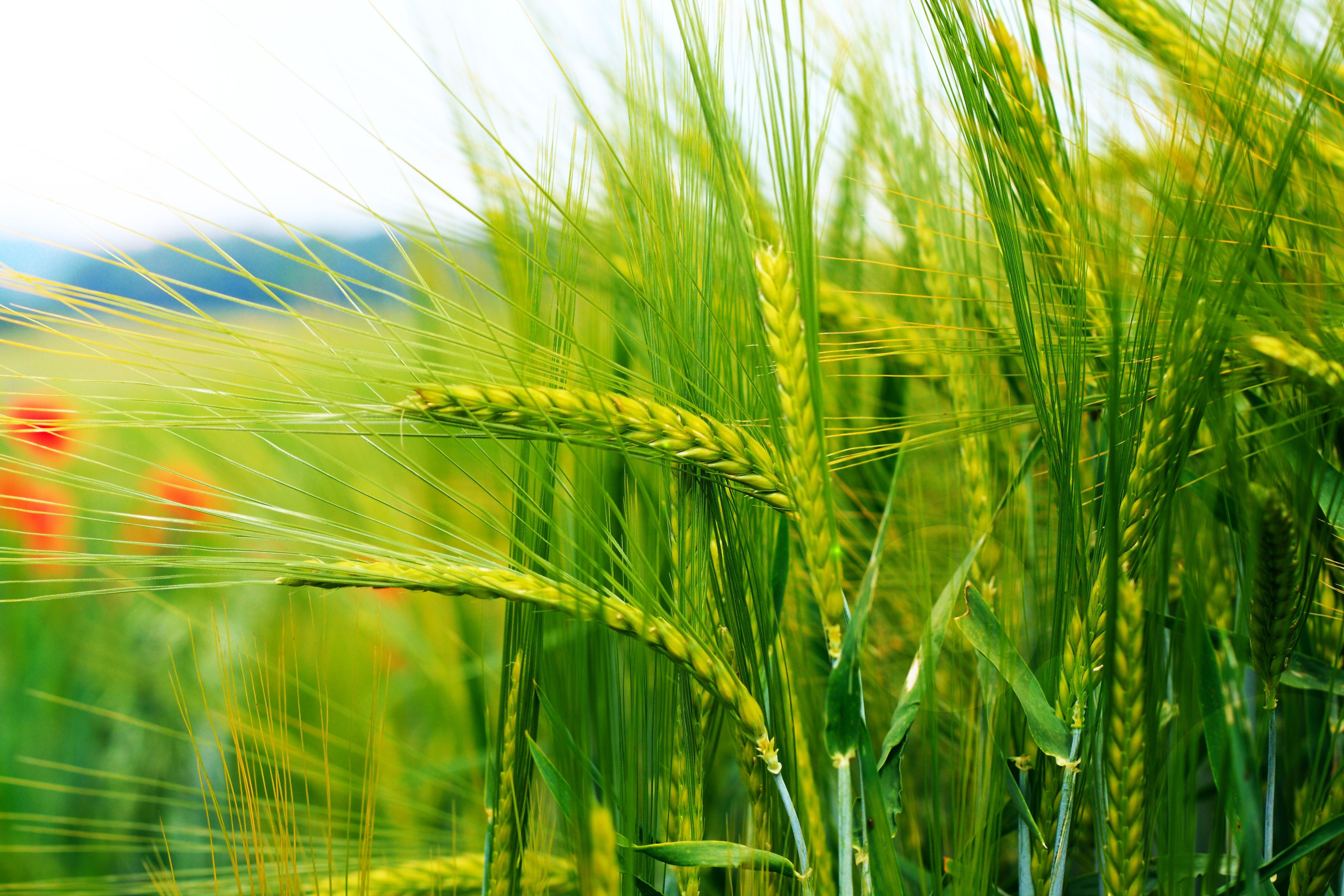 Pin By Rachael On Corn Idea One Grass Stock Images Free Ears Of Corn