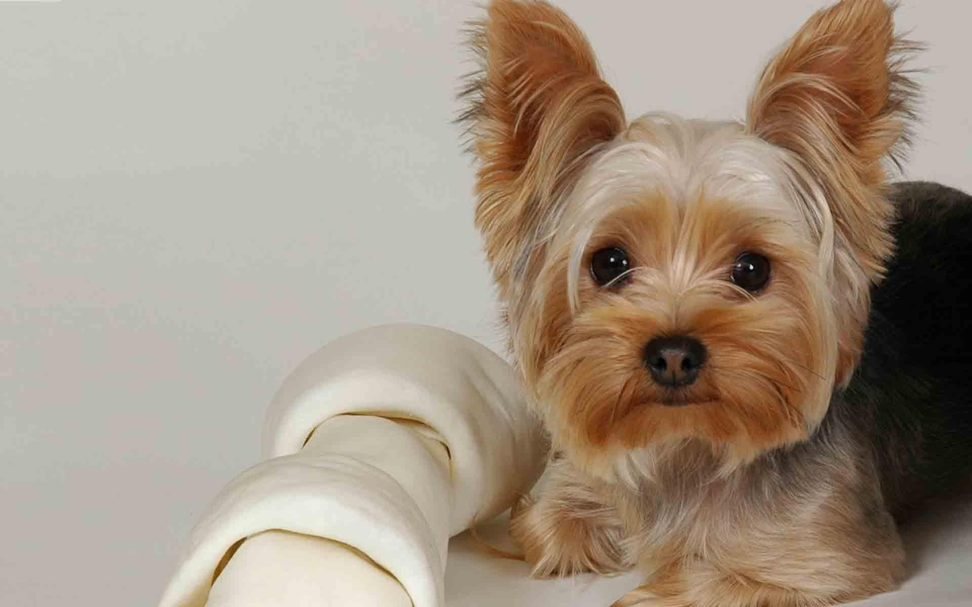 A Quick Guide on Rawhide Bones for Dogs Yorkie terrier